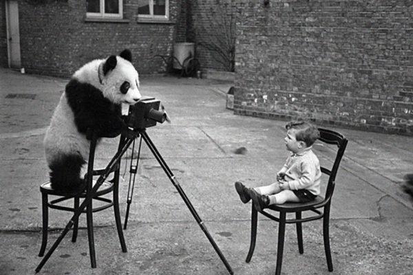 Panda Taking Picture